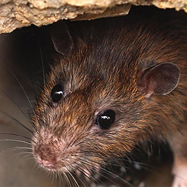 Virginia Beach Rat Exterminator
