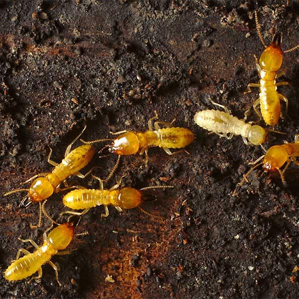 Professional Termite Exterminator